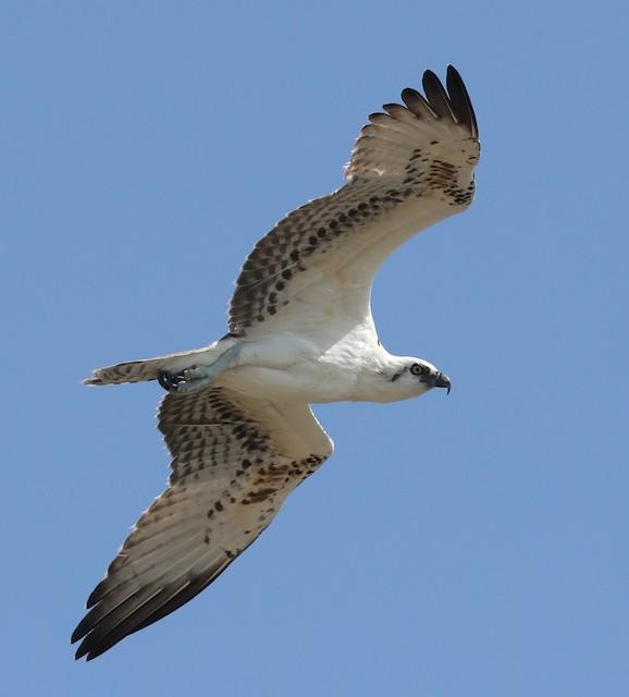 Osprey (ridgwayi)
