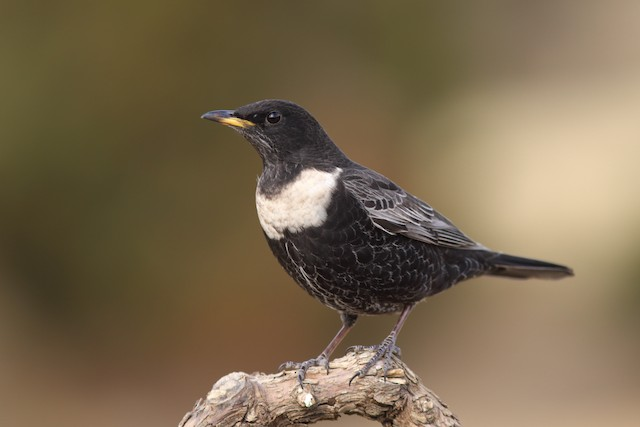 Ring Ouzel (Northern)