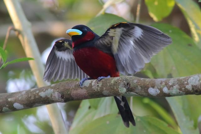 Frontal view: subspecies <em>siamensis</em>.