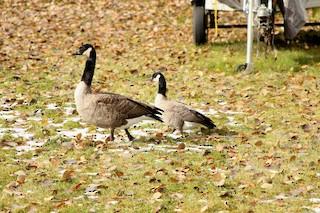 Cackling Goose, ML20446011
