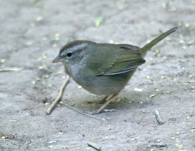Olive Sparrow (Olive)