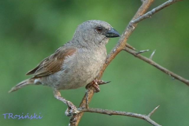 Parrot-billed Sparrow