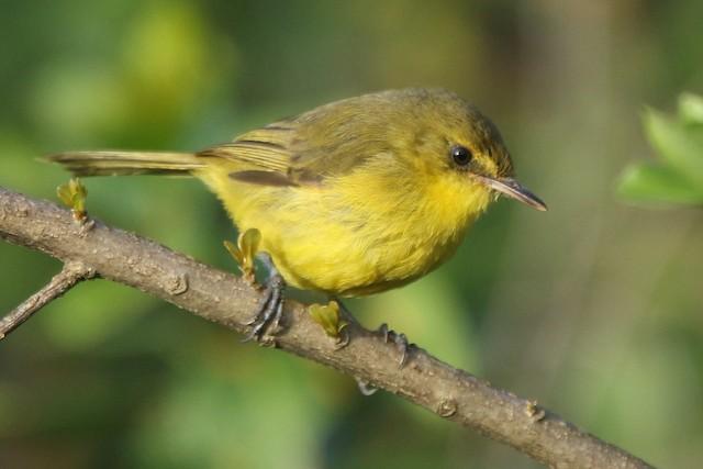 Mountain Yellow-Warbler