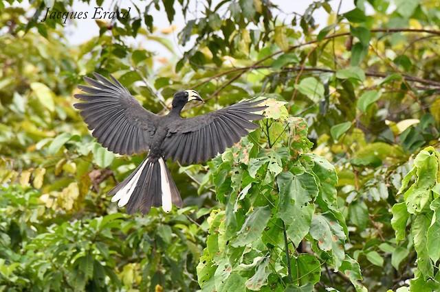 African Pied Hornbill (Congo)