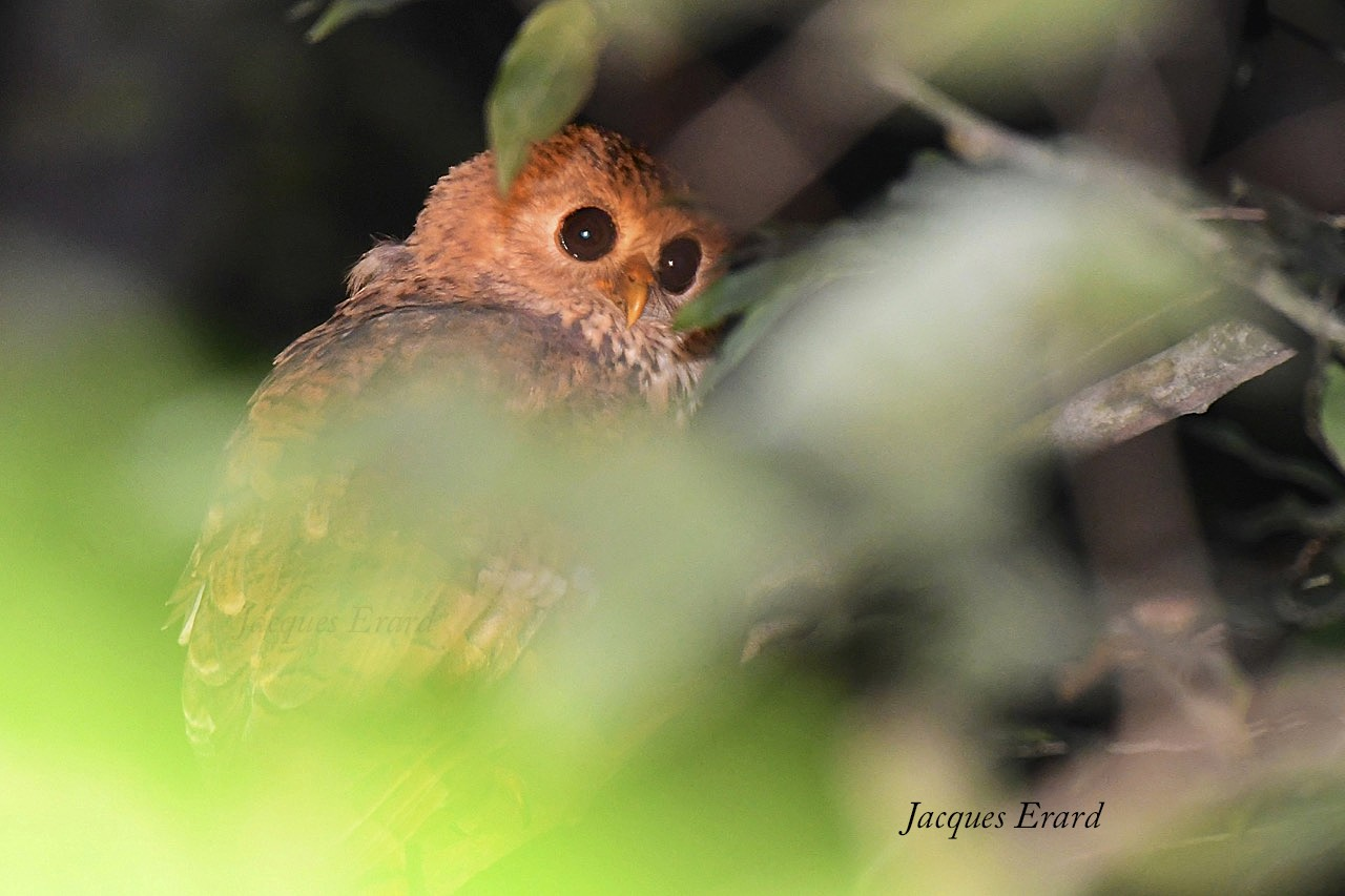 Vermiculated Fishing-Owl - Jacques Erard