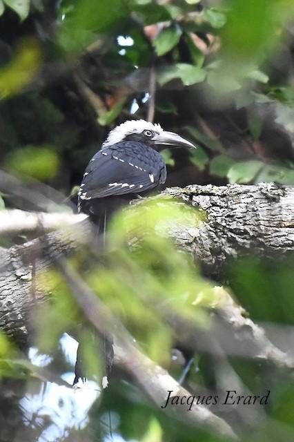 White-crested Hornbill (Dark-cheeked)