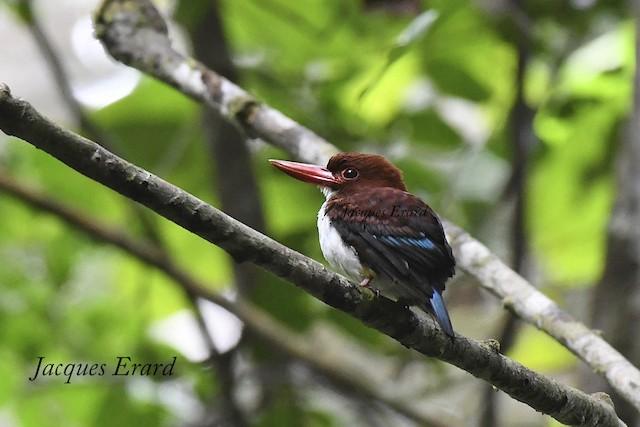 Chocolate-backed Kingfisher