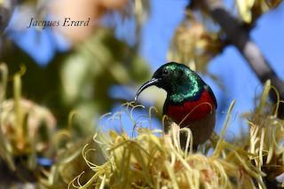 - Western Miombo Sunbird