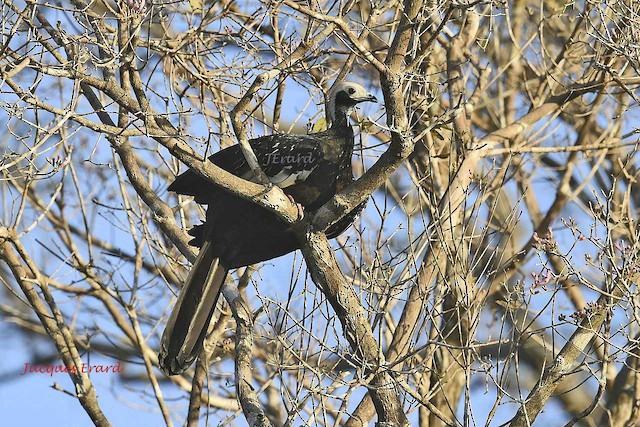 Blue-throated Piping-Guan (White-throated)