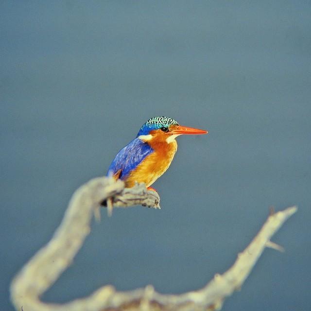 Malachite Kingfisher (Mainland)