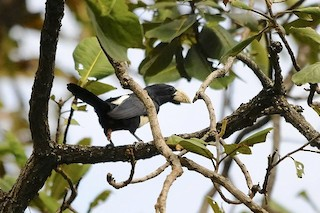- Black-breasted Barbet