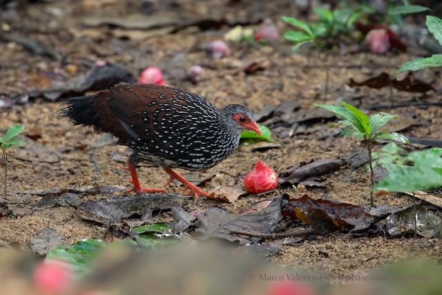 Sri Lanka Spurfowl