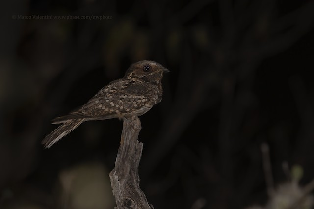 Fiery-necked Nightjar