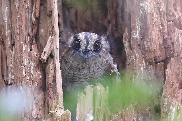 Vogelkop Owlet-nightjar
