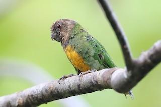- Geelvink Pygmy-Parrot