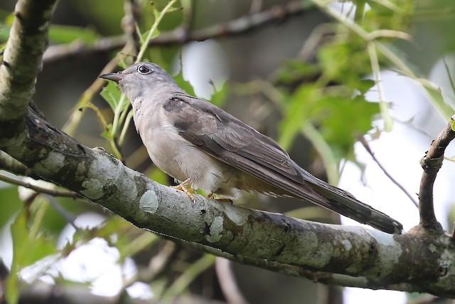 Brush Cuckoo (Brush)