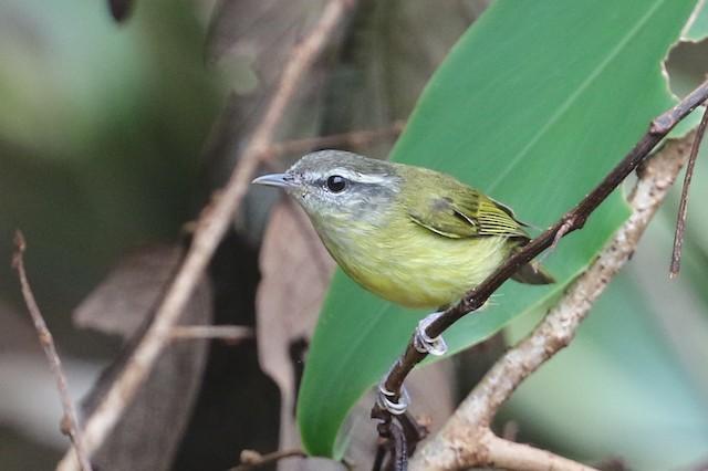 Island Leaf Warbler (Bacan)
