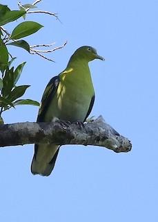- Buru Green-Pigeon