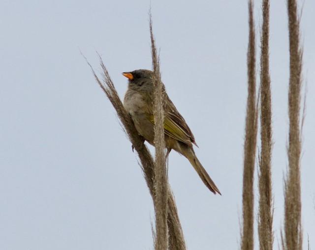 Great Pampa-Finch (Eastern)