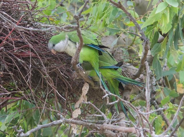 Monk Parakeet (Monk)