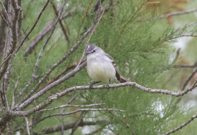 White-crested Tyrannulet