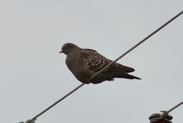 Spot-winged Pigeon (maculosa)