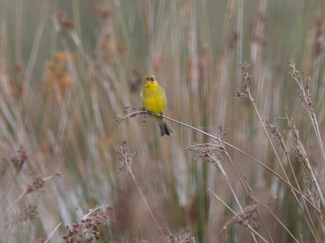 Grassland Yellow-Finch (Grassland)