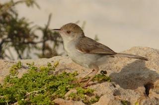 - Socotra Warbler