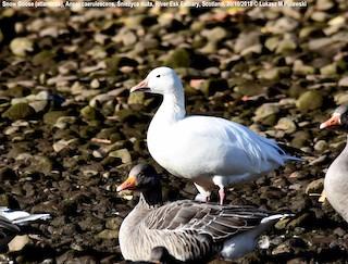 Snow Goose, ML204599711
