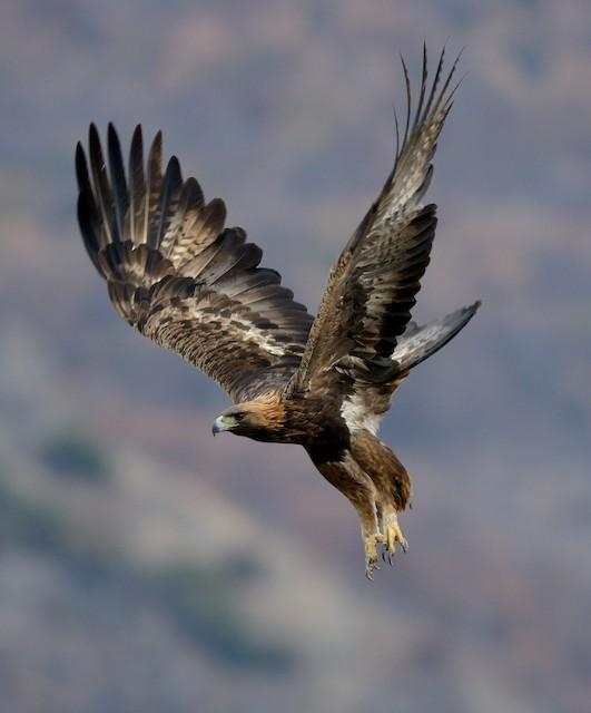 Golden Eagle (Bulgaria).