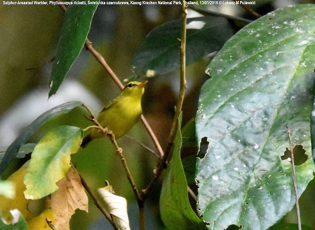 Sulphur-breasted Warbler