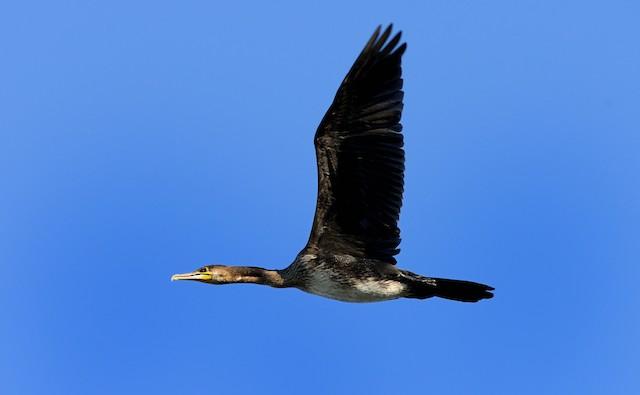 Great Cormorant (Eurasian)