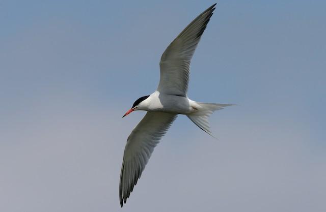 Common Tern (hirundo/tibetana)