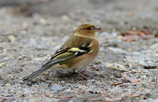 Common Chaffinch (Common)