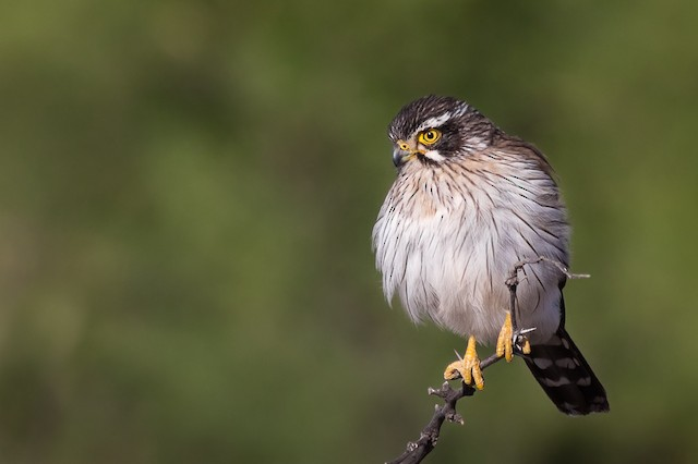 Spot-winged Falconet