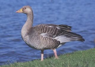 Graylag Goose (European), ML204631191