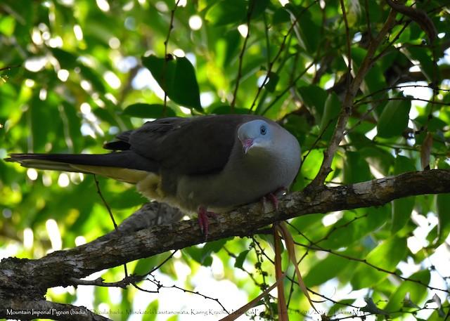 Mountain Imperial-Pigeon (badia Group)