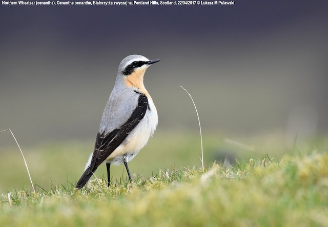 Northern Wheatear (Eurasian)
