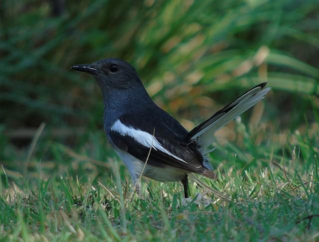 Oriental Magpie-Robin (Oriental)