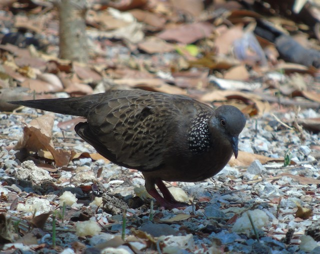 Spotted Dove (Eastern)