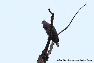 Bronze-naped Pigeon