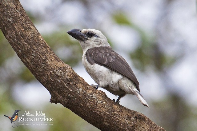 White-headed Barbet (Brown-and-white)
