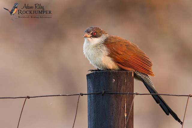 White-browed Coucal (Burchell's)
