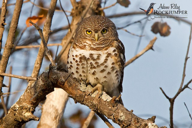 African Barred Owlet (Bar-fronted)