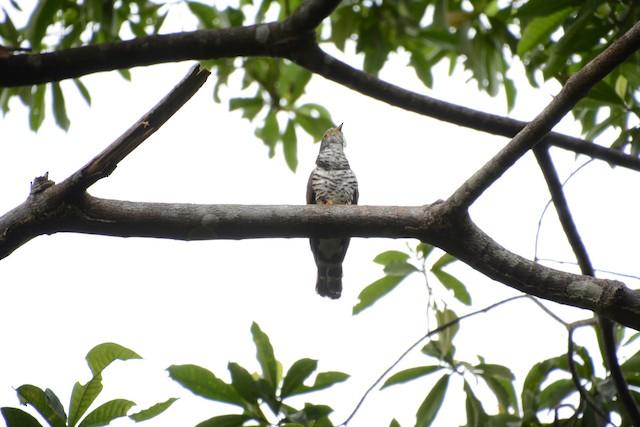 Sulawesi Cuckoo