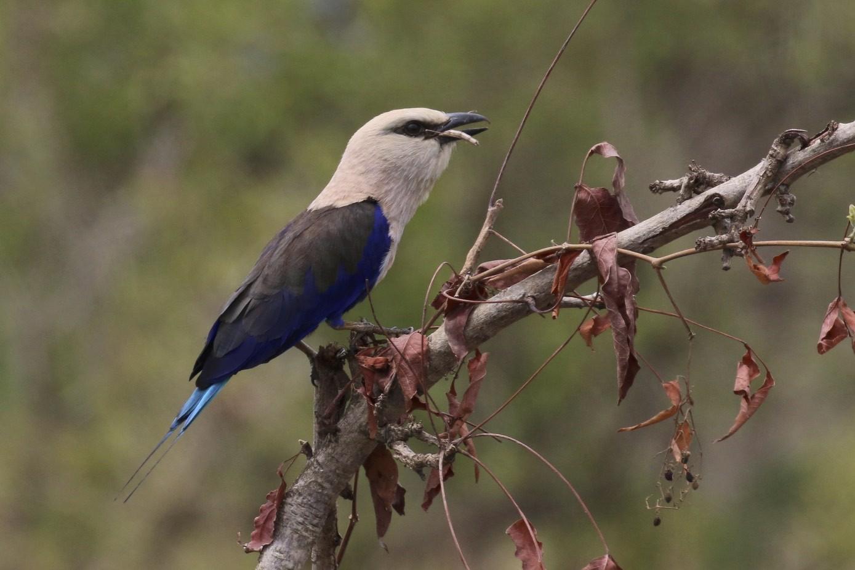 Blue-bellied Roller - Knut Hansen