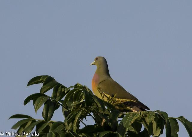 Orange-breasted Green-Pigeon