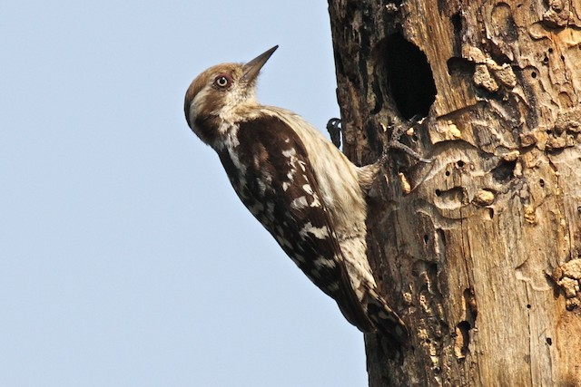 Brown-capped Woodpecker