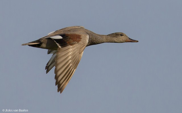 Gadwall (Common)