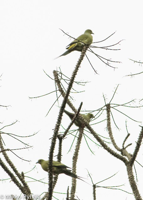 Pin-tailed Green-Pigeon
